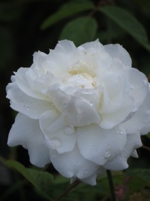 Rosa Susan Williams Ellis