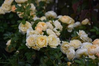 Rosa Sweet Memories (3)