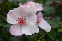 Rosa Sweet Pretty 1