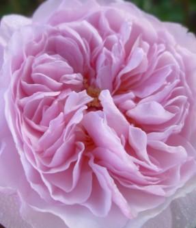 Rosa The Albrighton Rambler