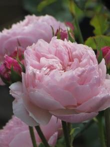 Rosa The Alnwick Rose (2)