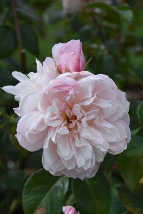 Rosa The Generous Gardener