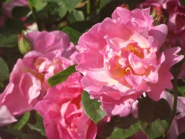 Rosa The Herbalist (2)