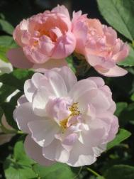 Rosa The Ladys Blush (2)