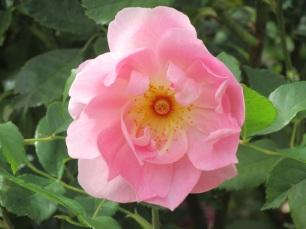 Rosa The Ladys Blush 2