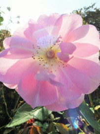 Rosa The Ladys Blush sunshine