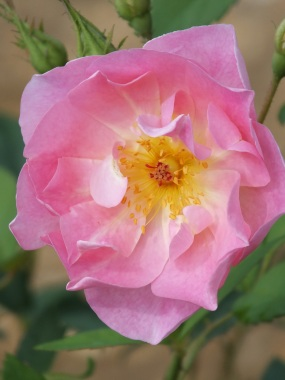 Rosa The Ladys Blush