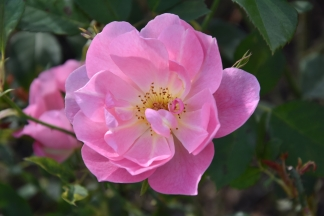 Rosa The Lady's Blush