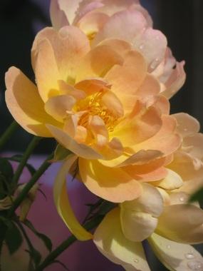 Rosa The Lark Ascending (3)