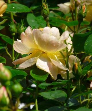 Rosa The Lark Ascending (4)