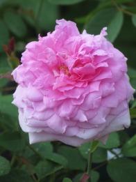 Rosa The Mayflower 2