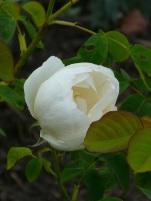 Rosa The Nun