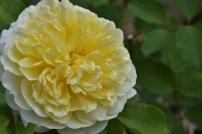 Rosa The Pilgrim (2)