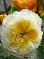 Rosa The Pilgrim (3)
