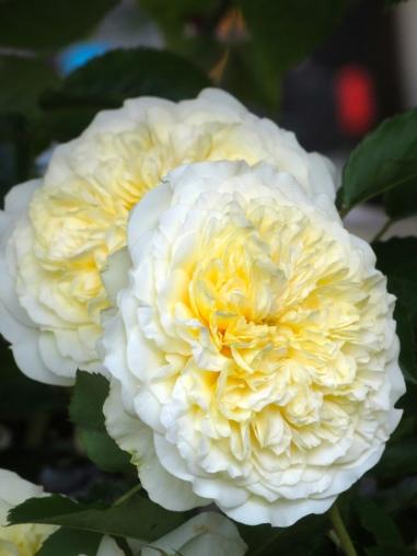 Rosa The Pilgrim (4)