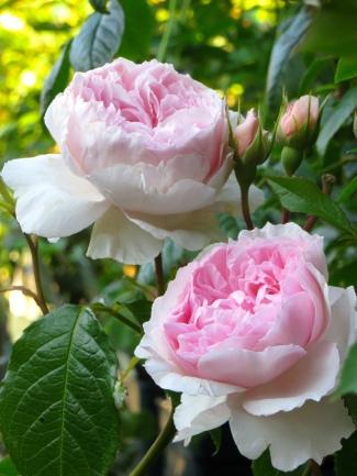 Rosa The Wedgwood Rose 1