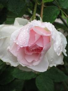 Rosa The Wedgwood Rose rain