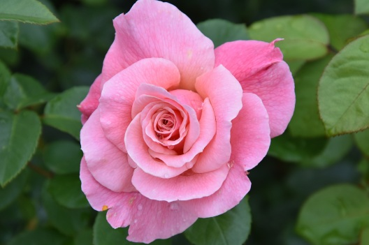 Rosa Tickled Pink (2)