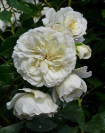 Rosa Tranquility (2)