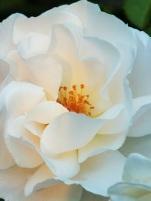 Rosa Ulay Rose.....
