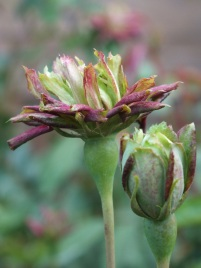 Rosa viridiflora