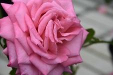 Rosa Wedding Bells