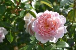 Rosa Wildeve 44