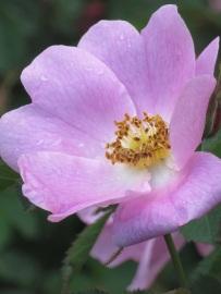 Rosa x hibernica (2)