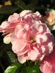 Rosa Youre Beautiful