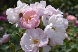 Rosas Scarborough Fair 1