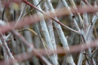 Rubus biflorus 1 (2)