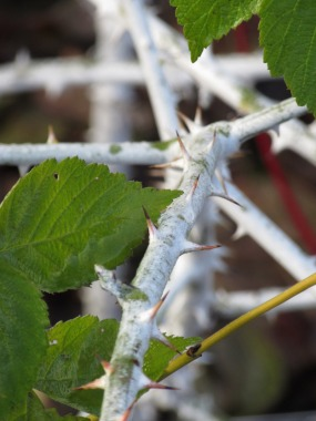 Rubus biflorus 2