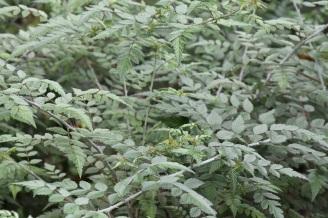 Rubus thibetanus (2)
