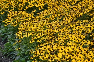 Rudbeckia Little Gold Star (2)