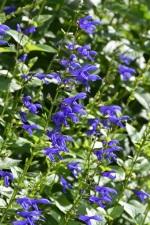 Salvia guaranitica Blue Enigma 3