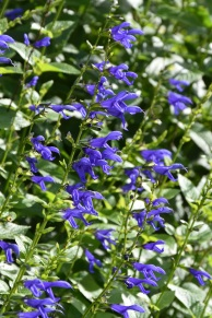 Salvia guaranitica Blue Enigma 3