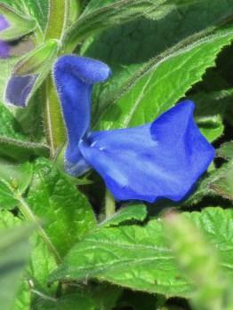 Salvia Patens (3)