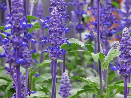 Salvia Sallyfun Blue