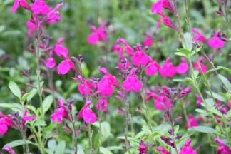 Salvia x jamiensis Raspberry Royale