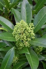Skimmia Kew Green