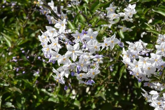 Solanum Potato Vine