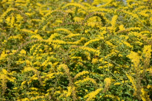 Solidago Golden Fleece