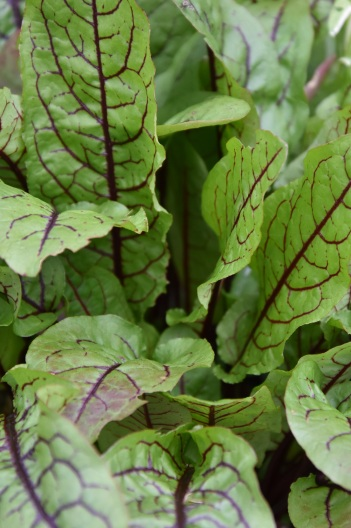 Sorrel Red Veined 1