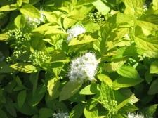 Spiraea japonica White Gold