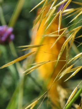 Stipa gigantea seedhead