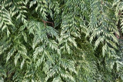 Thuja plicata Zebrina (2)