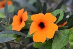 Thunbergia alata Orange