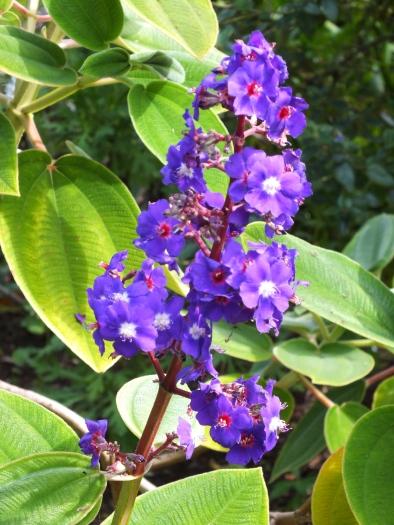 Tibouchina grandiflora