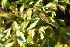 Trachelospermum asiaticum Summer Sunset