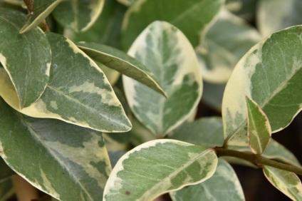 Trachelospermum jasminoides Variegatum